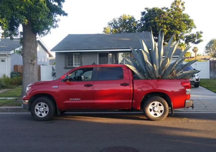 Mi vecino lleva 2 días con un agave en su camión, lo riega y todo