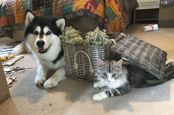 Couple Makes Their Malamutes Best Man And Maid Of Honor For Their