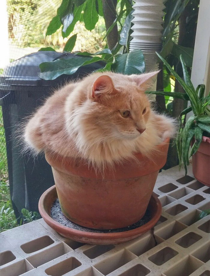 The Orange Shrub-Cat Requires Many Pets To Grow Big And Strong. Contrary To Other Shrubs, This Shrub Is Deeply Adverse To Being Watered