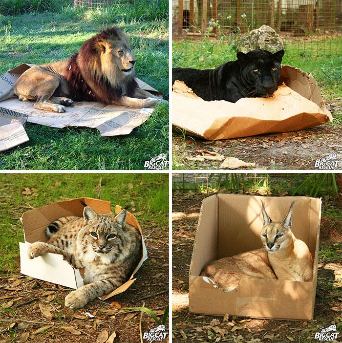 Big Cats Love Boxes Too