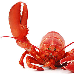 Lying_Lobster