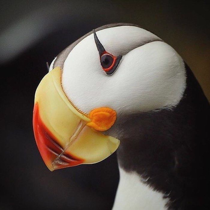 Beautiful Horned Puffin