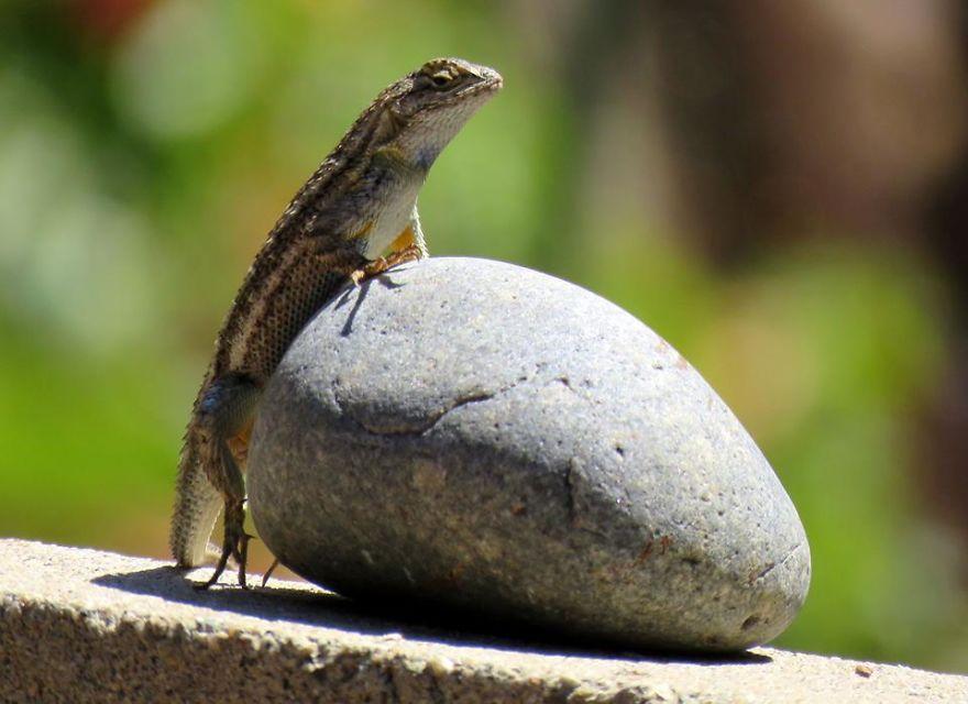 Western Fence Lizard On The Basking Rock.