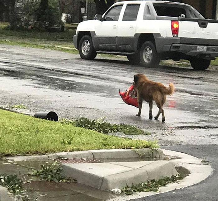 Un Perro Llamado Otis Camina Por Sinton, Tx, Llevando Una Bolsa De Comida De Perro
