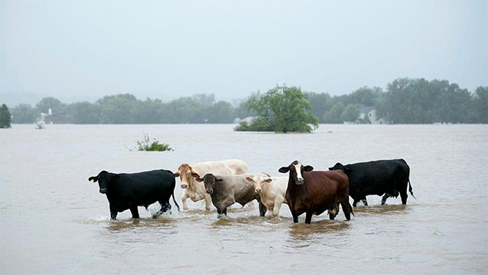 Cattle Are Stranded In A Flooded Pasture On Highway 71 In La Grange, Texas