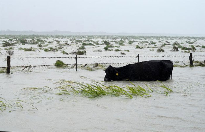 A Cow Struggles To Keep Its Head Above Floodwaters Near Fulton
