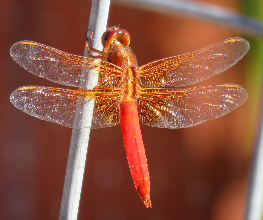 Red Dragonfly Hanging Out.