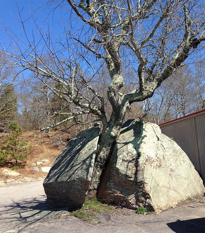This Tree Grew Through A Rock