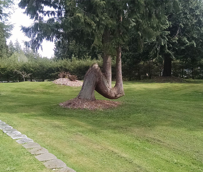 This Tree Fell Over But Continued To Grow