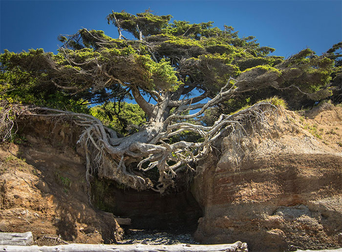 10+ Badass Trees That Refuse To Die No Matter What