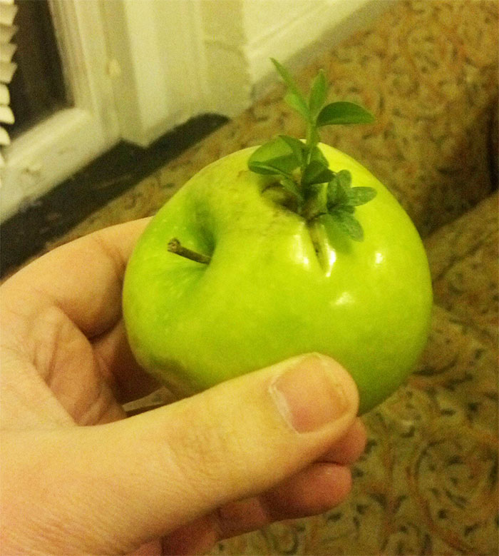 Friend Of Mine Found An Apple With An Apple Tree Growing Out Of It
