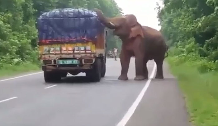 This Elephant Stopped A Truck Loaded With Potatoes And Started Snacking
