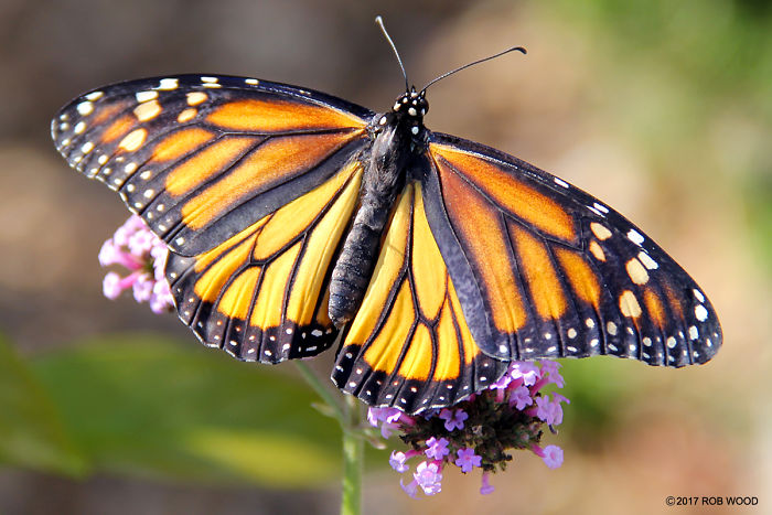 Can You Imagine A World Without Butterflies?