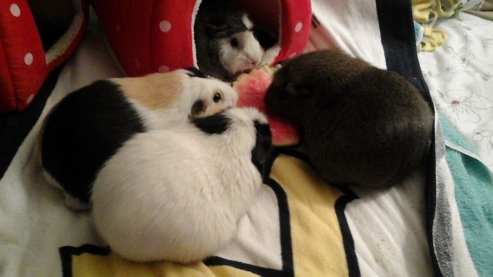 A Group Of Guinea Pigs Is Called A Muddle.