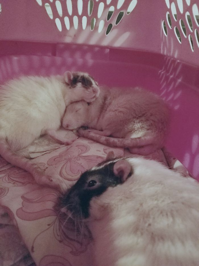 My Awsome Rats! I Also Have Three Rabbits And Two Cats.