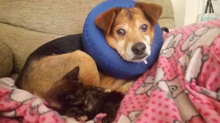 My Dog Is Pretty Sure He's The Kitten's Baby Momma…