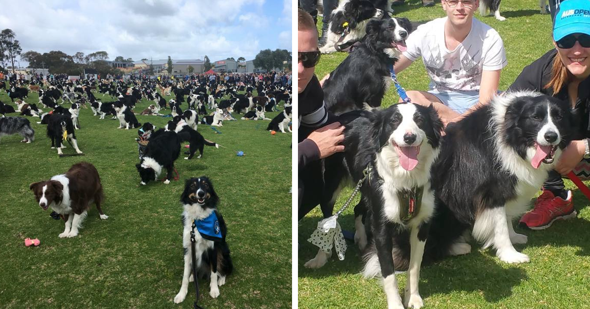 576 Border Collies Get Together In One