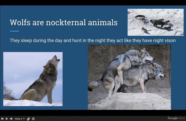 """One Of My Mom's 3rd Grade Students Did A Presentation To The Class On Wolves. When This Slide Went Up She Panicked & Said: """"Okaaaay"""" & Quickly Skipped To The Next Slide"""