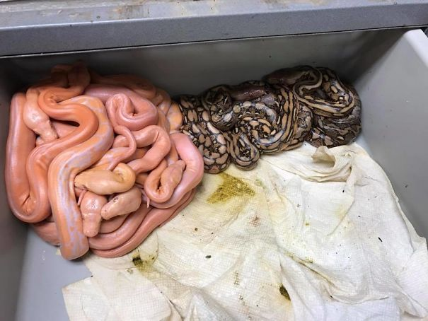 These Reticulated Pythons Self-Segregated Themselves Based On Color Just After Hatching