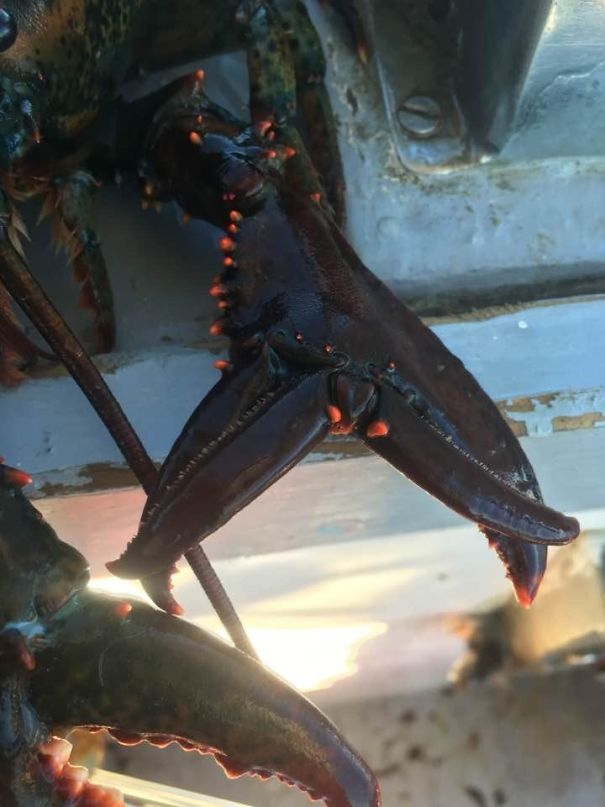 My Cousin Caught A Lobster With Double Pinchers. Both Claws Work