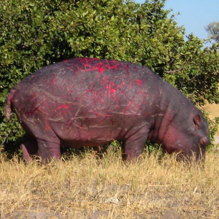 Un Hipopótamo Con Cicatrices De Batalla