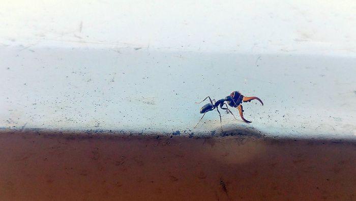Hormiga En Mi Porche Llevando La Cabeza De Su Derrotada Enemiga