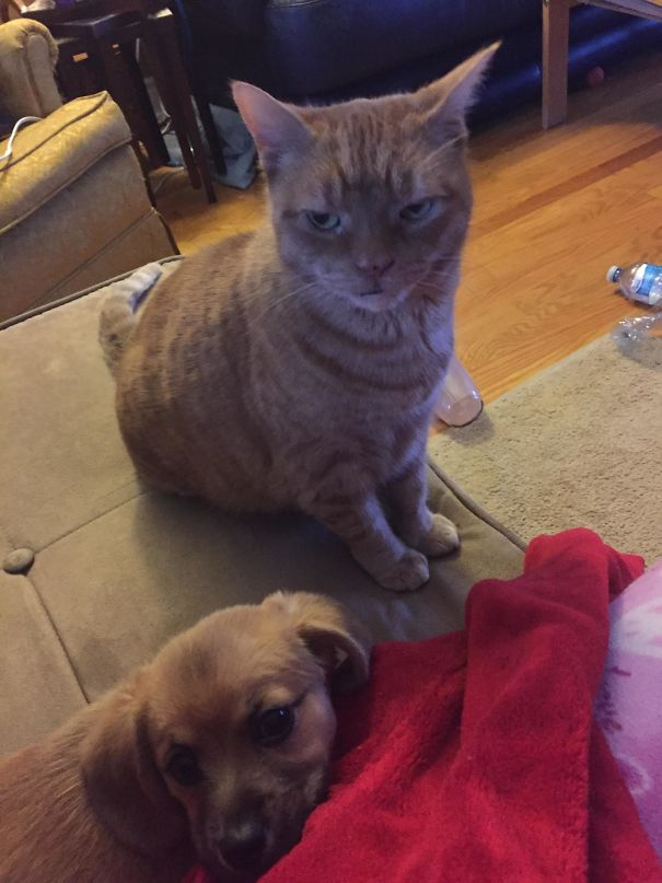 Not Sure, But I Don't Think Our Cat Likes Our New Puppy