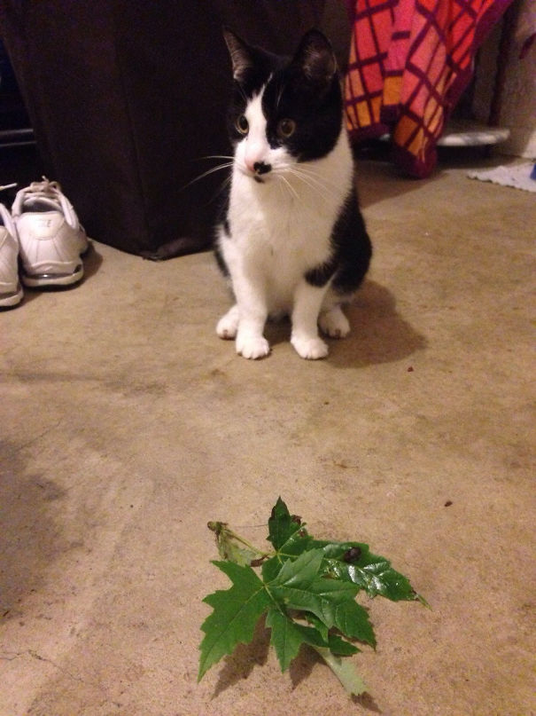 Instead Of A Dead Bird Or Mouse, My Cat Decides To Bring Us Gifts Of Leaves. She's Been Doing This For Years