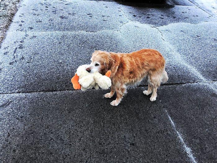 Este perro se perdió y lo llevé a su casa, como agradecimiento me trajo su pato