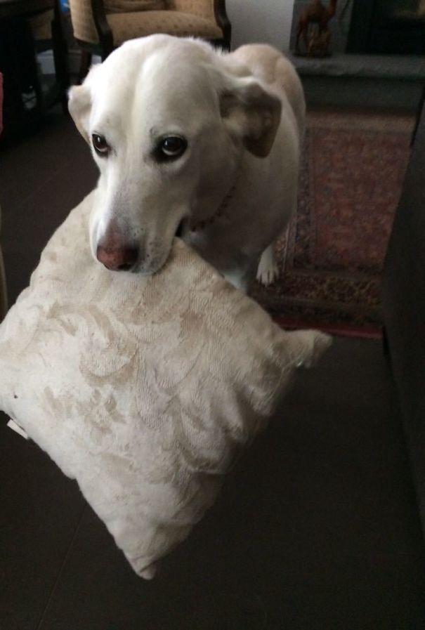 Questo è il cuscino di Zoey. Se ti piace, ti porterà il cuscino. Non puoi toccarlo, ma puoi guardare