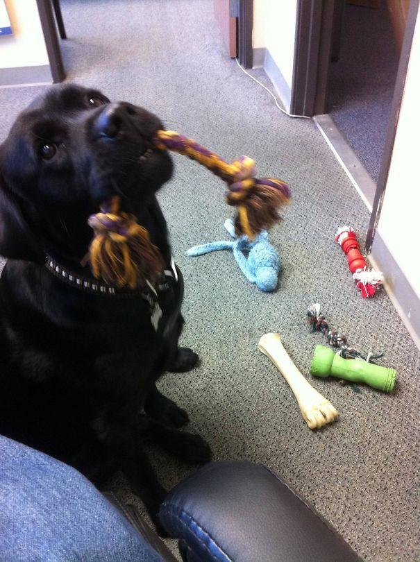 L'ultimo giorno al lavoro. Penso che il cane da ufficio mi vuole restare, mi ha portato tutti i suoi giocattoli