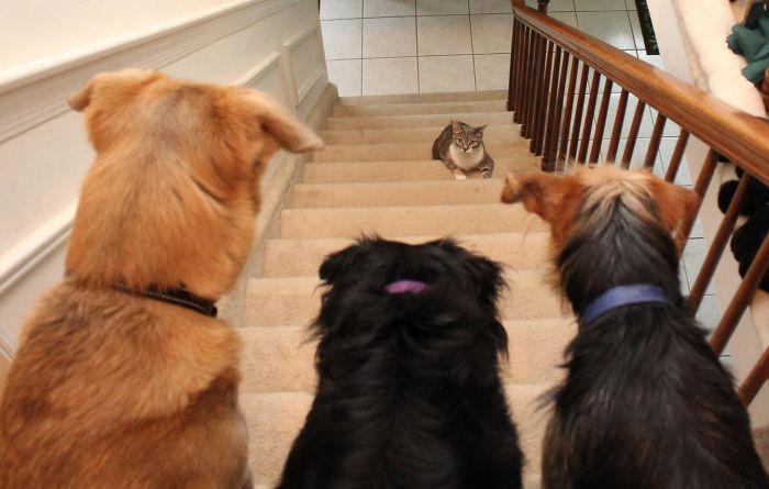 It's A Trap! Or At Least It Looks That Way To Dawn, My Cat, As She Decides Whether Or Not To Go Up The Stairs Past My Three Dogs: Jasper, Lilah And Tucker
