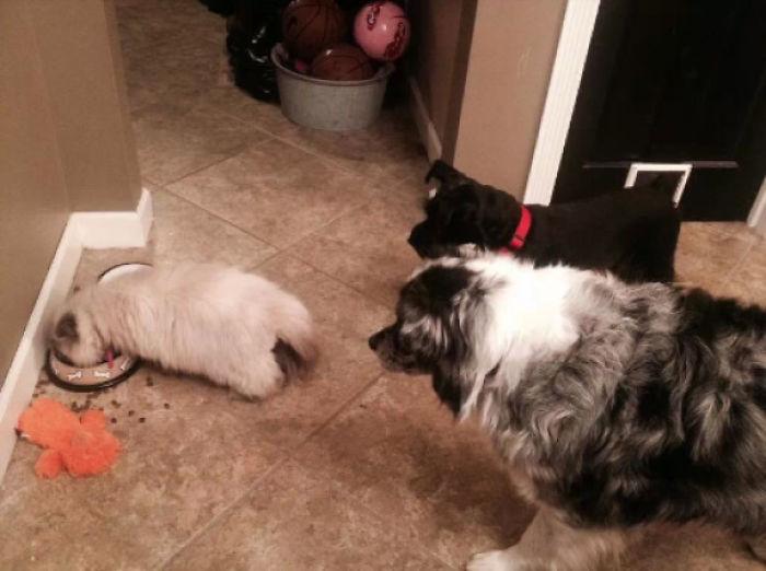 El gato comiéndose la comida de los perros mientras miran