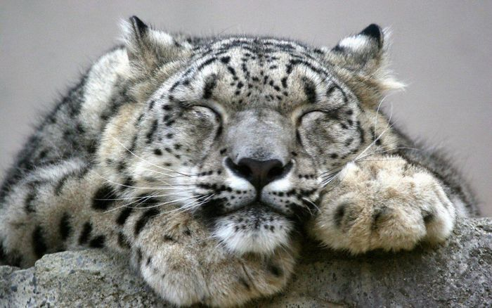 Unlike Many Other Big Cats, Snow Leopards Are Not Aggressive Towards Humans. There Has Never Been A Verified Snow Leopard Attack On A Human Being