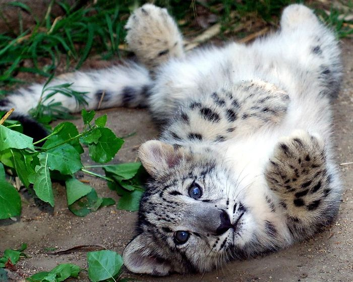 This Snow Leopard Cub Would Like A Belly Rub Please