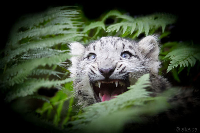 Young Snow Leopard In Fern