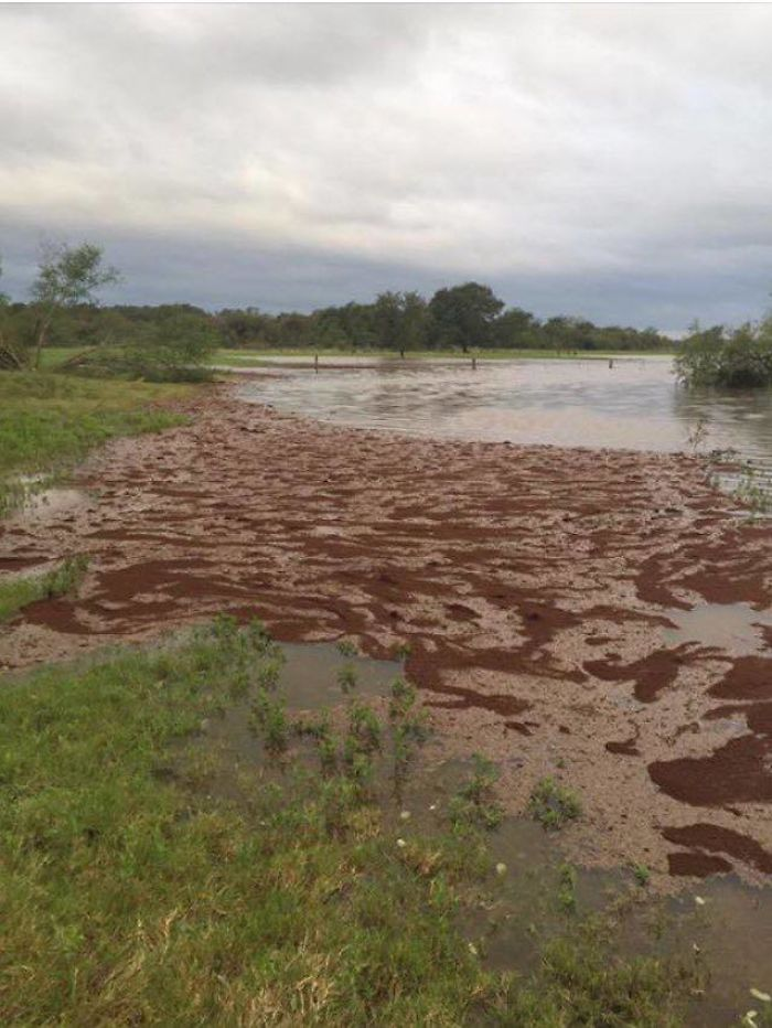 Millones De Hormigas Rojas Flotando En Una Inundación De Harvey