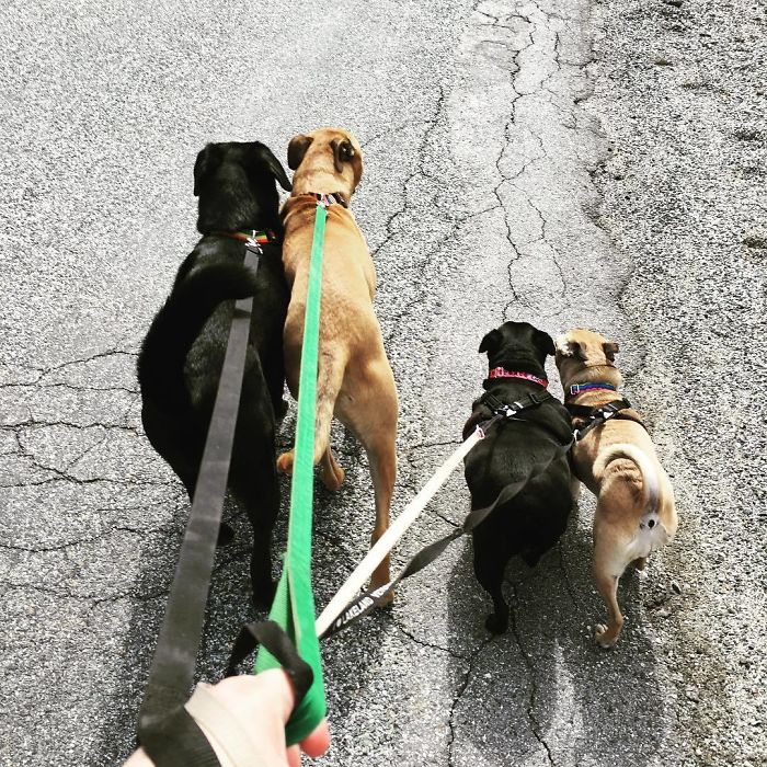 Sometimes I Have Brilliant Ideas- Like Taking All 4 Dogs On My 3 Mile Walk
