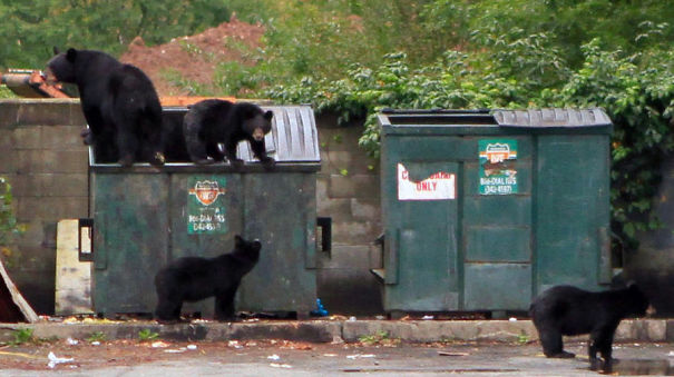 Bears-in-the-dumpster-59cac7fc3a953.jpg