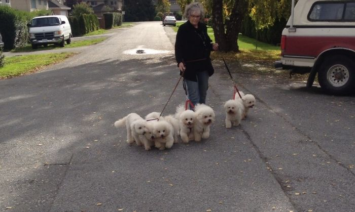 Bev And 7 Bichons Frises, Out For A Walk. A Couple Of Them Look Kind Of Bored. One Looks Squashed Between 2 Others. Guess It's A Good Thing We Are Almost Home.