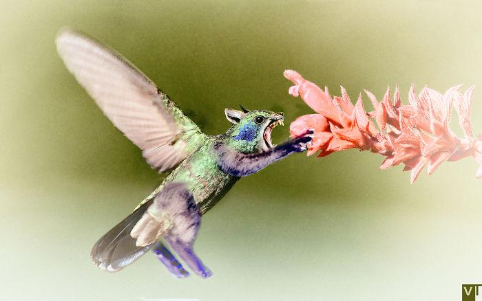 Colibri Mordeus