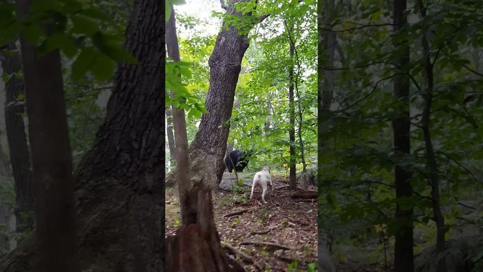 Courageous Pitbull Pushes Giant Bear Away From Its Owner