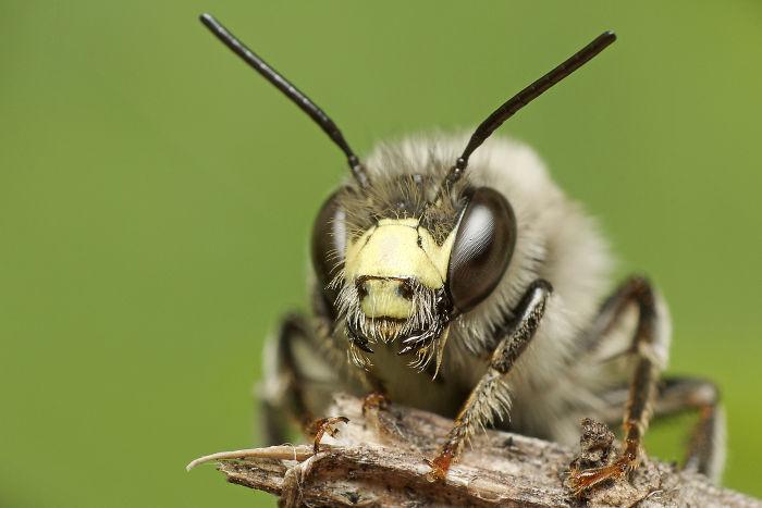 Digger Bee (Anthophora Terminalis)