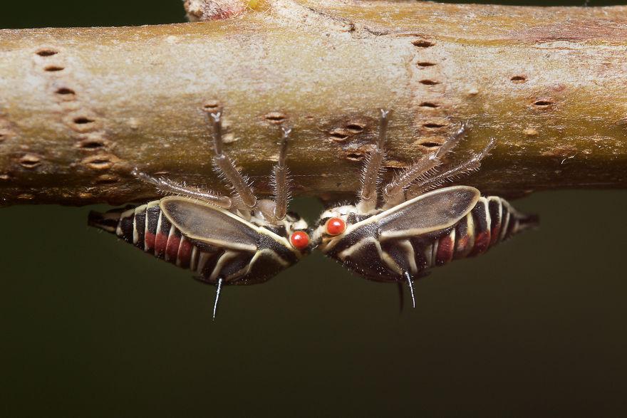 Oak Treehopper Nymphs (Platycotis Vittata)