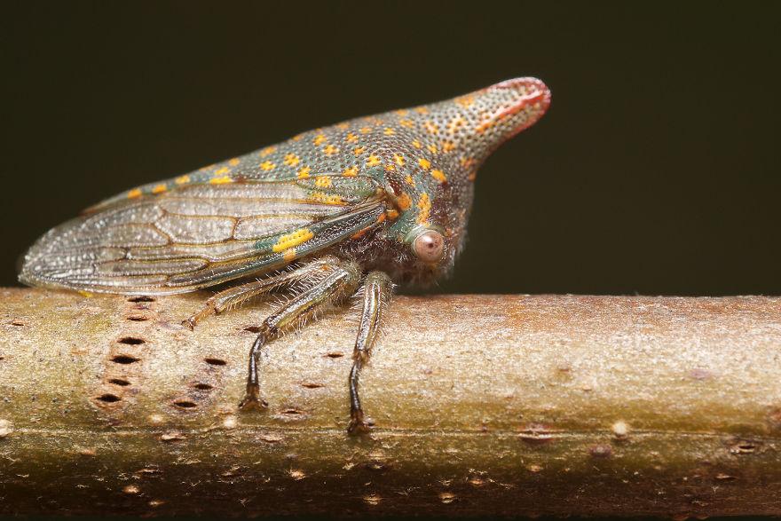 Oak Treehopper (Platycotis Vittata)