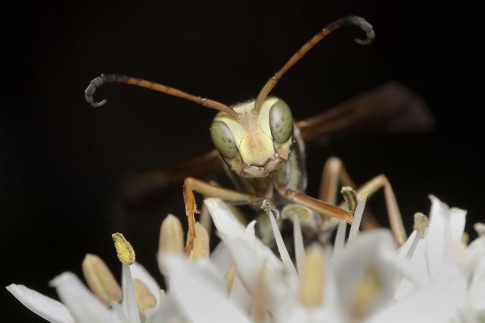Paper Wasp (Polistinae)