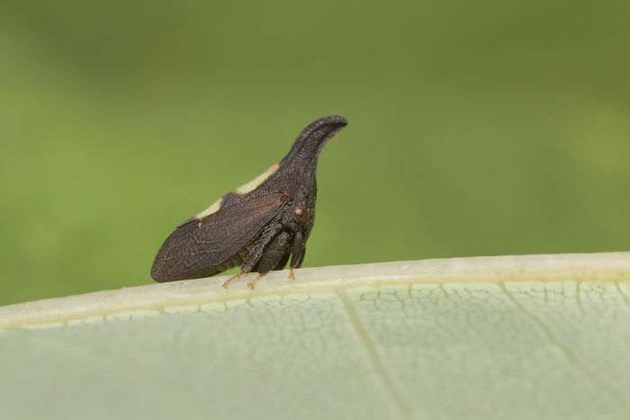 Two-Marker Treehopper (Enchenopa Binotata)