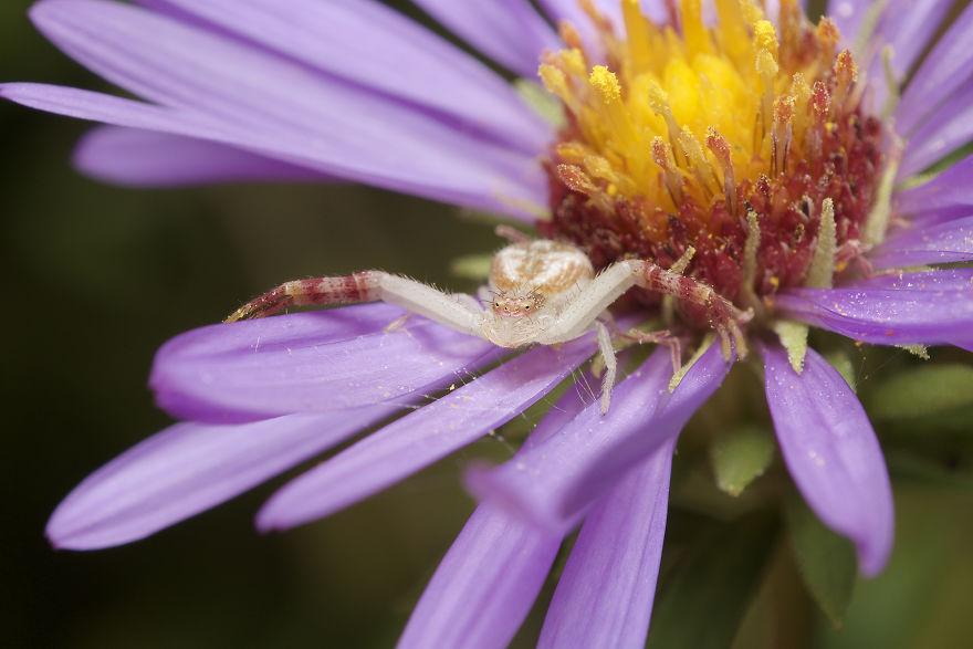 Crab Spider (Thomisidae)