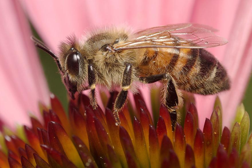 Honey Bee (Apis)