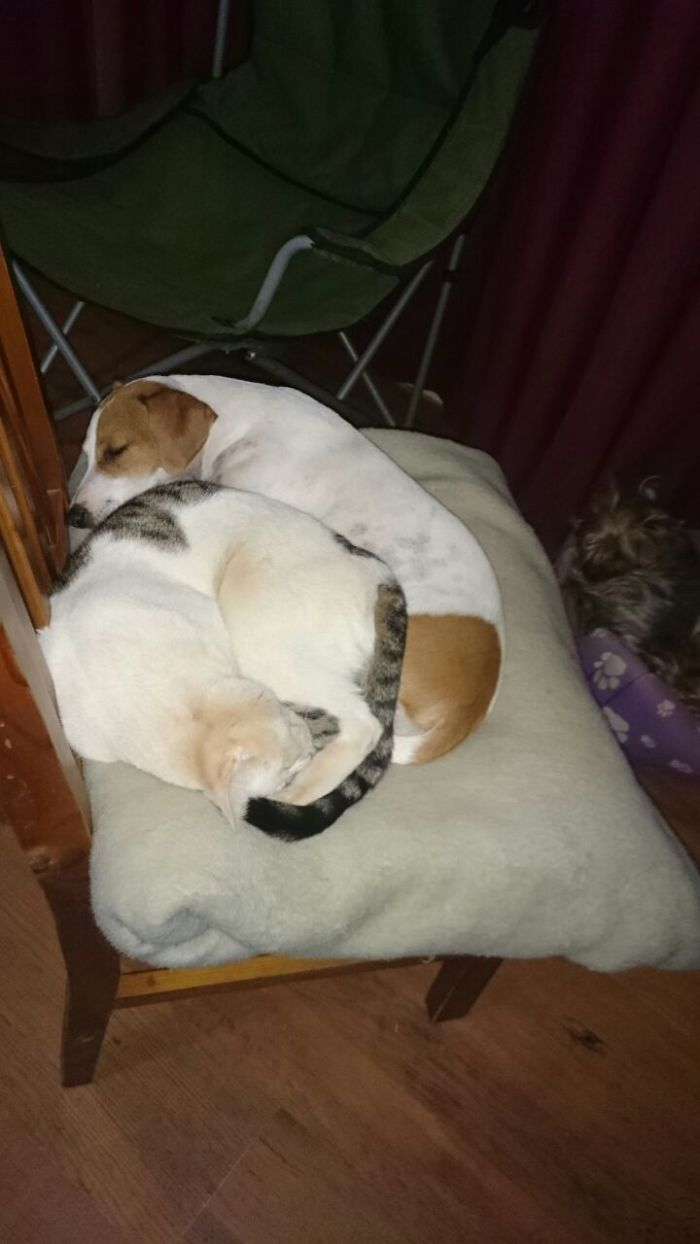 Star(the Jackrussel) Hates Cats But Here She Is Snuggled With Domino(our Silly Cat).